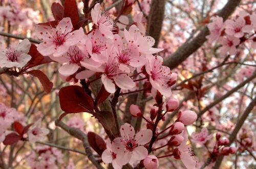 桜アップ画像