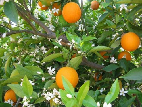 小さくて白い花がかわいいオレンジの花。近くを通るといい香りがしてきます