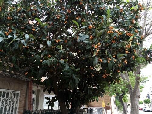 biwa-tree