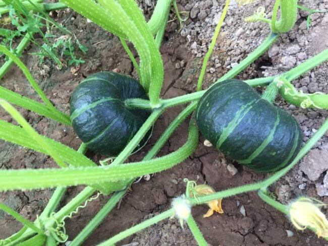 kabocha-planting-0625-3