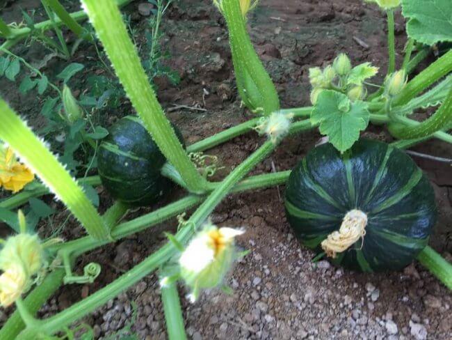 kabocha-planting-0625-4