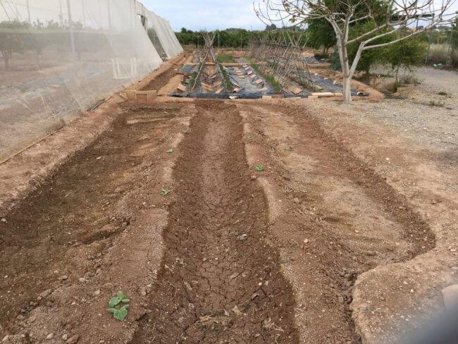 kabocha-planting-1